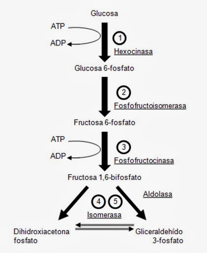 Glucólisis | Apuntes de Bioquímica
