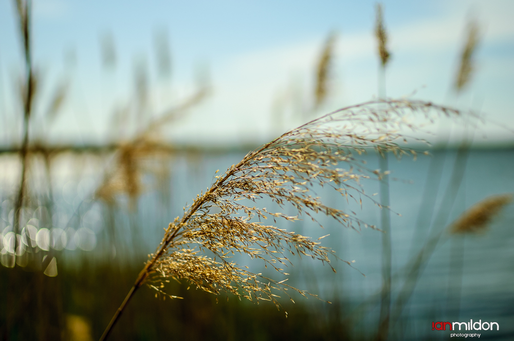windblown grass at Okmulgee Lake, Oklahoma