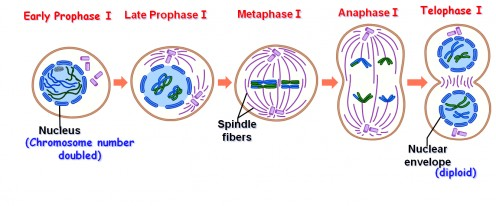 What is meiosis stages of meiosis i and ii biology exams 4 u meiosis i ccuart Choice Image