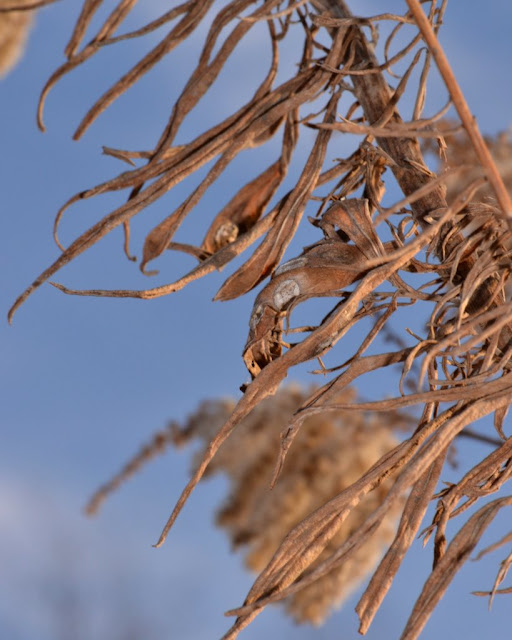 Black Blister Galls on very tall goldenrod