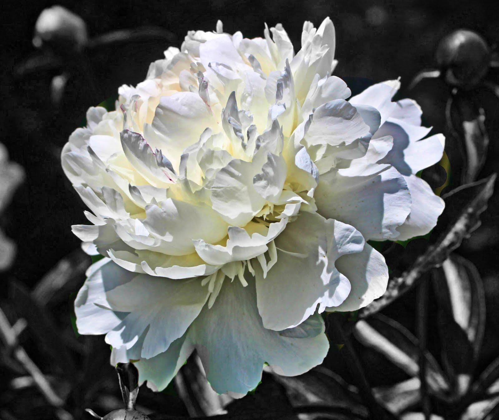 Photohack Smith Castle White Garden Flower In Black And White