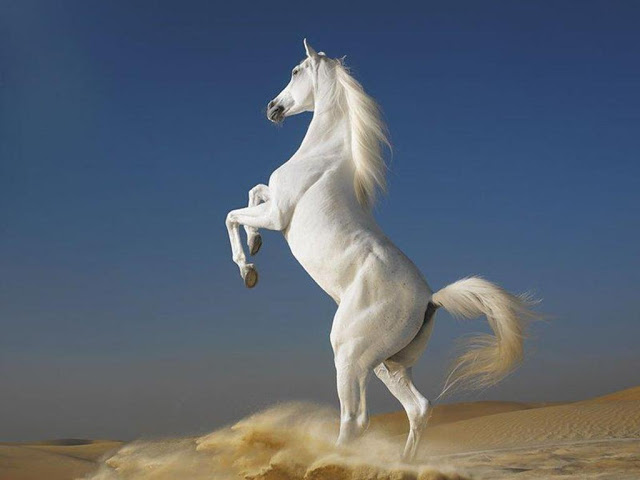 Beautiful Cute White Horse Pictures / Photos / Wallpapers / Running Horse