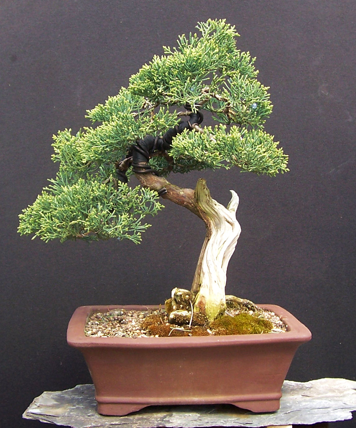 MiKo Bonsai Gallery Of My Bonsai