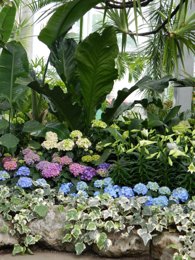 Allan Gardens Conservatory Easter Flower Show pink blue hydrangeas in front of banana trees by garden muses: a Toronto gardening blog