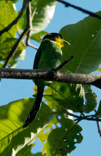 Long-tailed Broadbill (Psarisomus dalhousiae)
