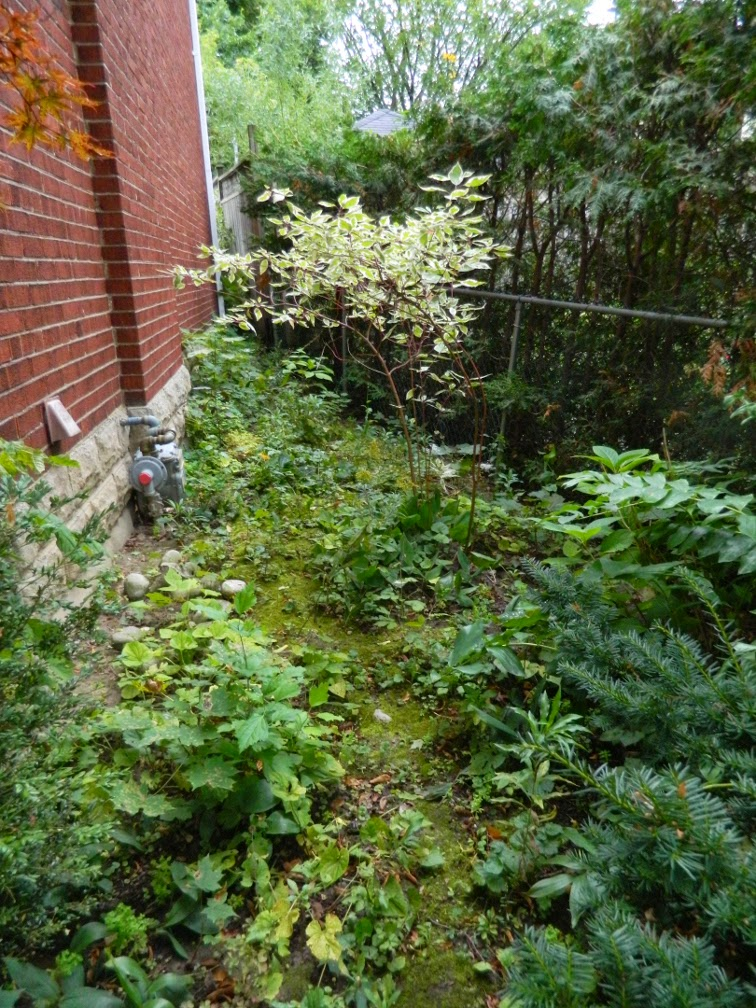 Mount Pleasant West Toronto garden clean up before Paul Jung Gardening Services