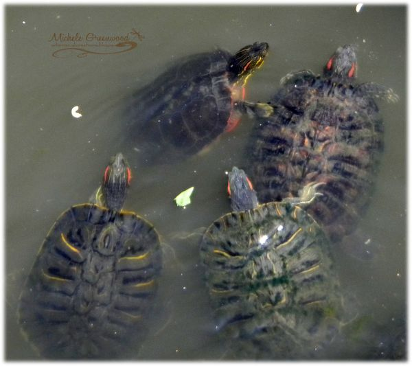 Turtles+with+orange+stripes