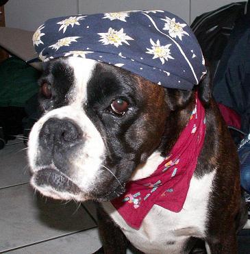 Boxerhündin Ivy als Piratenbraut verkleidet
