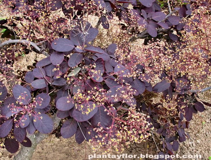 Plantas y flores cotinus coggygria 39 royal purple 39 for Aspiradora de hojas para jardin