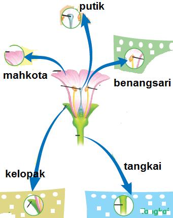 Bagian-Bagian Bunga Dan Fungsinya, putik, benangsari, mahkota, tangkai, tangkai
