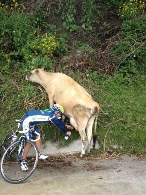 vaca, mijar, bicicleta, beber mijo, imagens