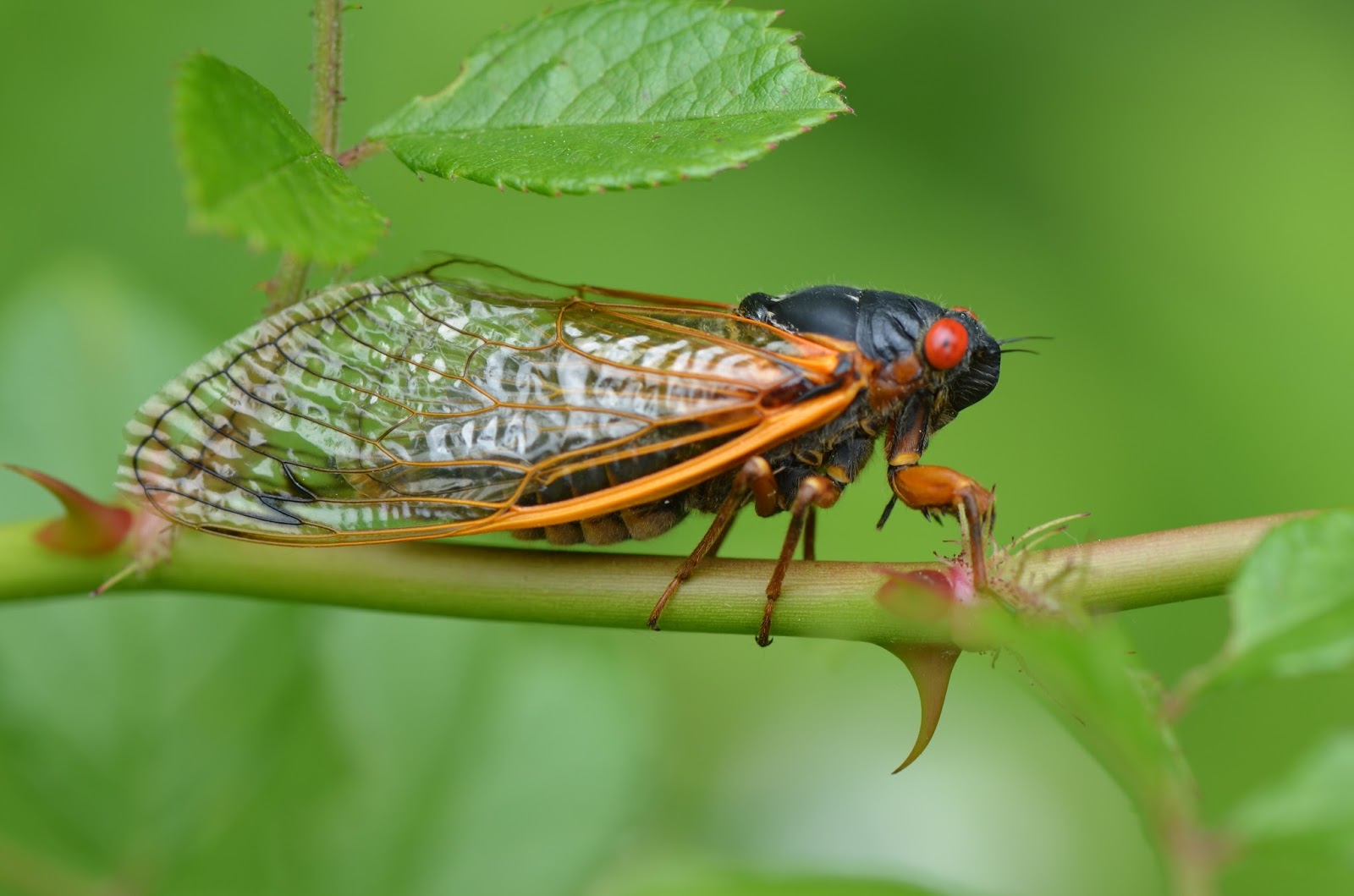 urban wildlife guide cicadas