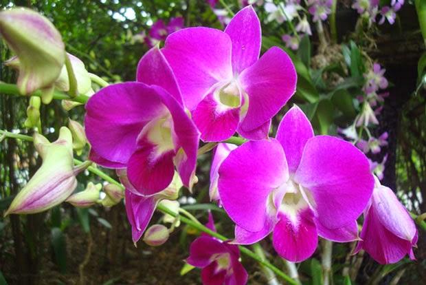 Khasiat Bunga Anggrek untuk Kesehatan