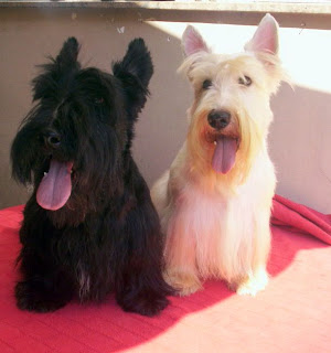 padreadores de scottish terrier