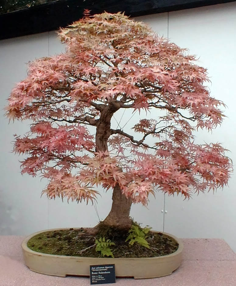 Crimson Queen Japanese Maple Bonsai The Japanese Maple Bonsai