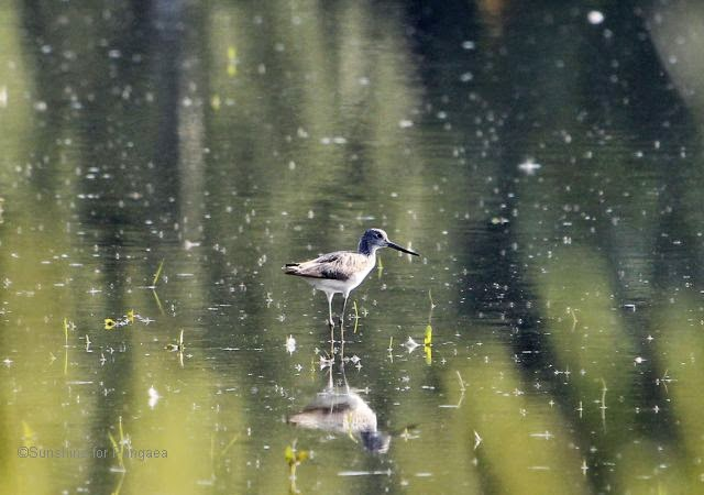 Common Greenshank in Southern Germany