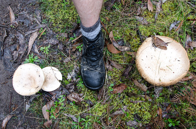 large fungi and boot as a size comparison on great south west walk