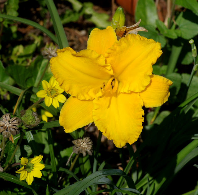 Hemerocallis cultivar - daylily