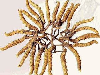 Cordyceps sinensis fungus will make male sexual desire increased to 66%