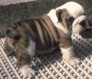 english bulldog animal wallpaper dogs puppies pets