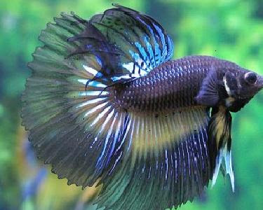 Aquarium fishes betta fighter fish care for Betta fish life span