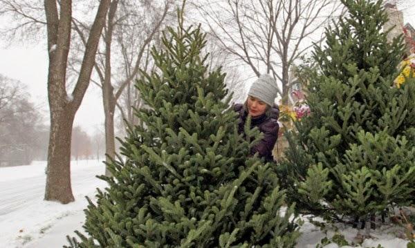 За Коледно дръвче най-търсен е бор с млади връхчета