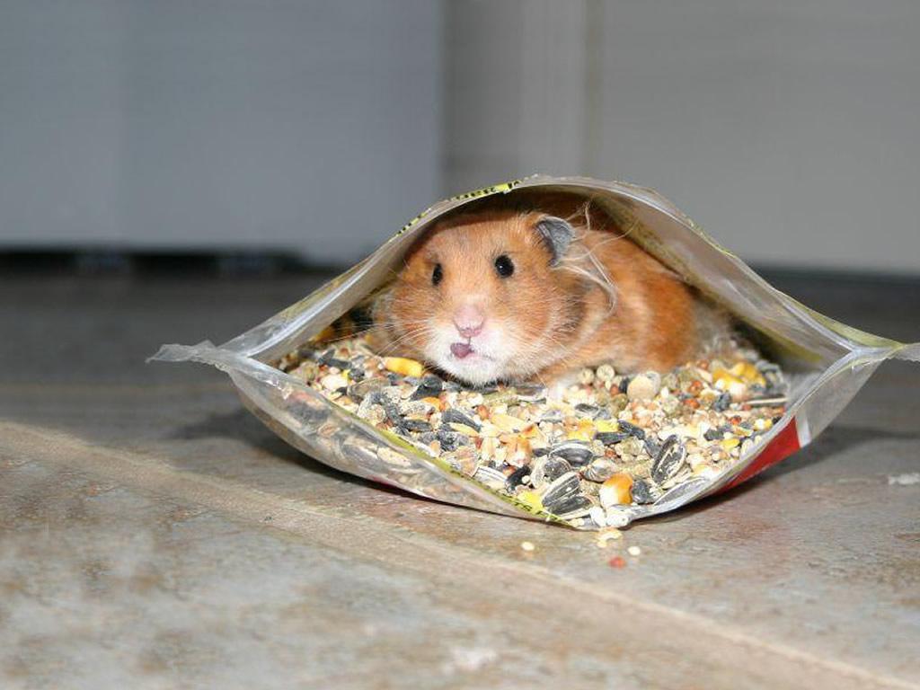 http://1.bp.blogspot.com/-gjtkgaBdFnY/TzR-SGGvVzI/AAAAAAAAAH0/MnWm9r3CP3U/s1600/rodent-wallpaper-gerbil-caught-sneaking-food.jpg