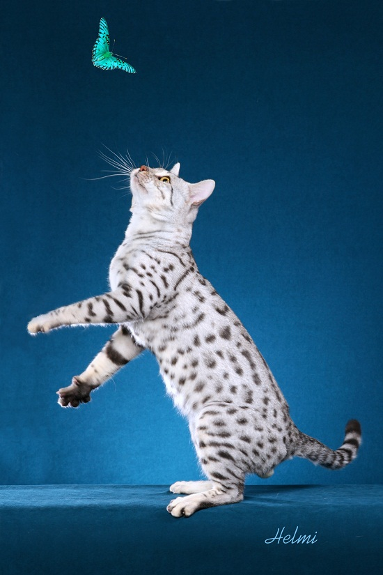 White Bengal Cats
