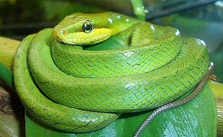 Ular bamban, ular hijau berbisa lemah