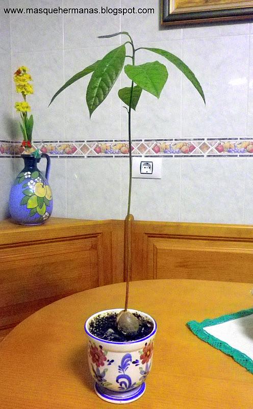 mÁs que hermanas: plantar un aguacate en casa paso a paso