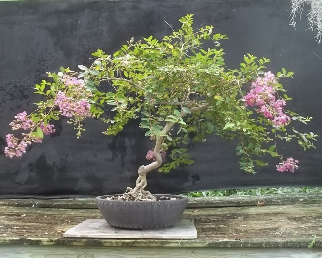 Bonsai Beginnings 50