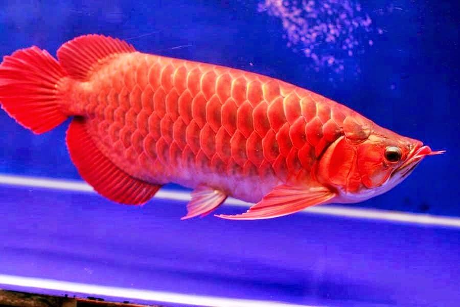 Jenis Ikan Arwana Indonesia ~ Informasi Dunia Air