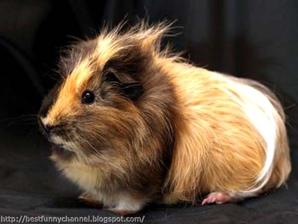 Guinea pig.