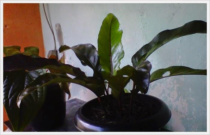 Kenali Ciri dan Karakteristik Black Horse - Anthurium