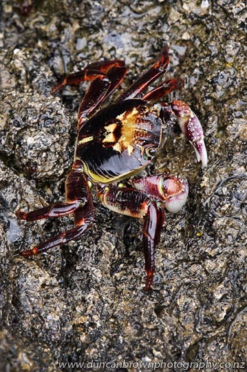 Colourful crab on Perfume Point, Ahuriri, Napier photograph