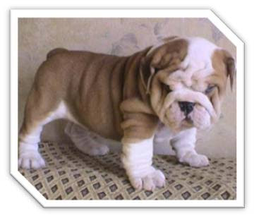 Cute Bulldog Puppies Pictures