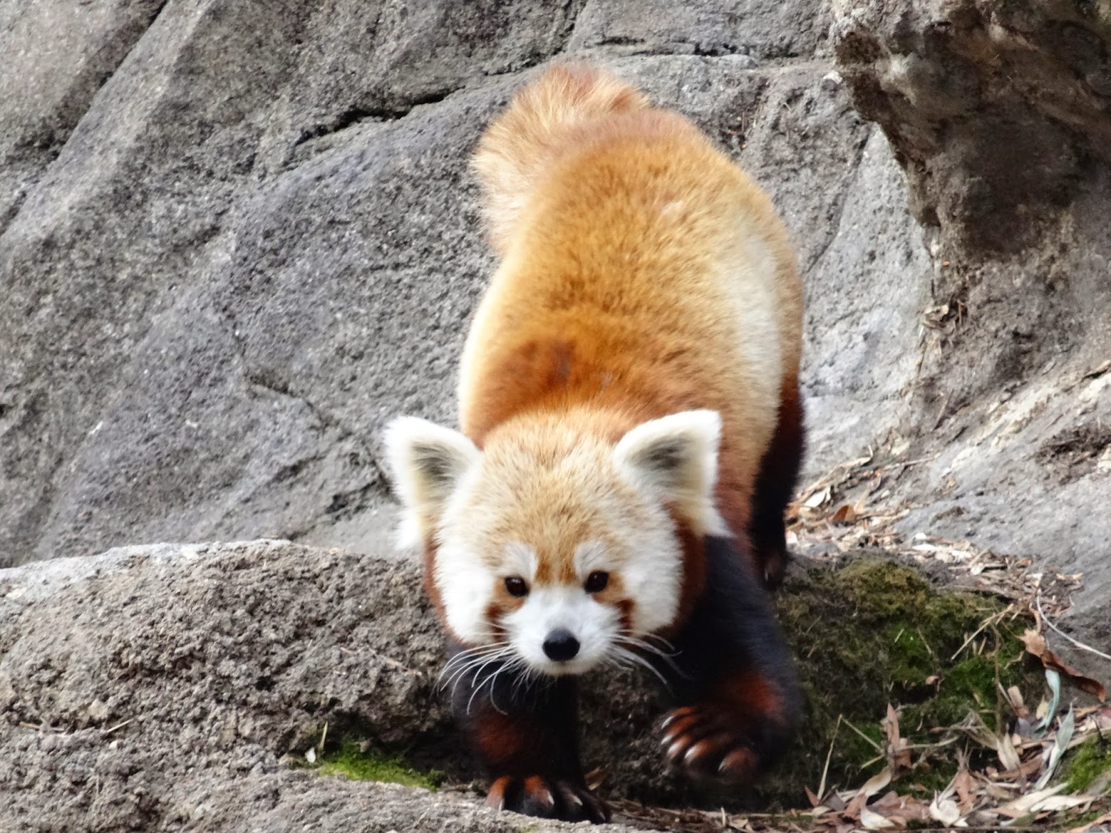 love joy and peas red pandas eating grooming and grooving
