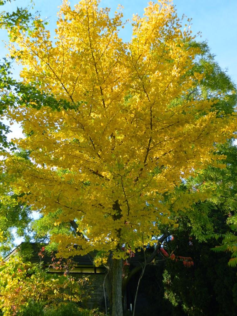 Toronto Botanical Garden Ginkgo biloba Maidenhair tree fall foliage  by garden muses-not another Toronto gardening blog