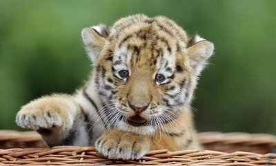 Cute tiger pictures - photo#11