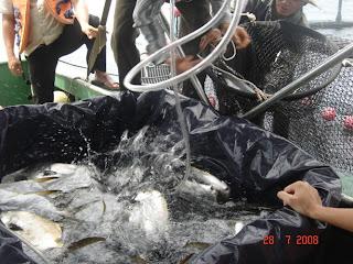 nuôi cá chim vây vàng - cá giống - giống cá chim vây vàng