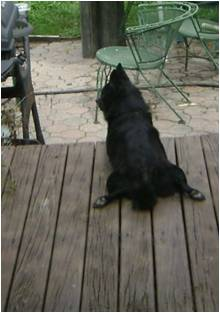 photo of Schipperke on a deck