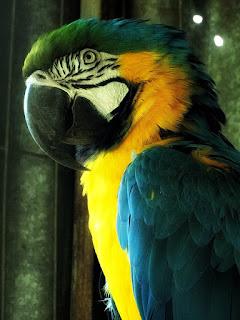 Arara Canindé, Mini Zoológico de Aves, Santiago (RS)