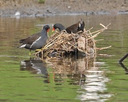 moorhens building nest