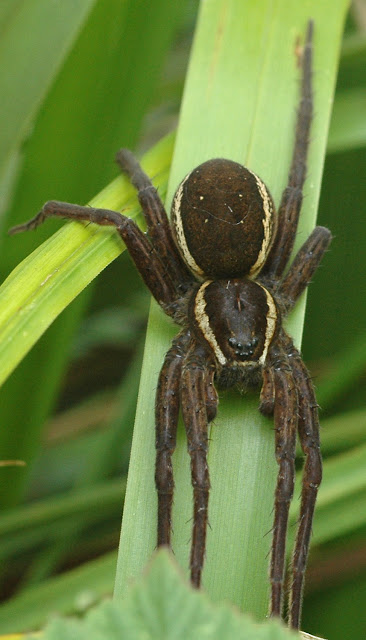 fen raft spider sussex