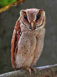 Makanan Bayi Owl