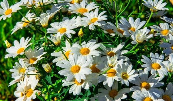 flores no jardim frases : flores no jardim frases:Flores e Frases : Lindas margaridas brancas [Luzia Couto]