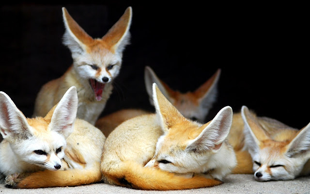 Fennec: Η μικρότερη αλεπού στον κόσμο