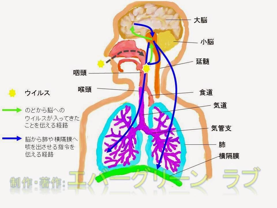 ハッカ油 メントール 薬局 イソジン ポビドンヨード セチルピリジニウム OTC 市販 風邪薬 どうやって選ぶ かぜ 咳が止まらない 咳を止めたい せきどめ 注意 効き目 よく効く 成分 医者 処方薬 喘息、扁桃炎、結核、咳喘息、喘息、扁桃炎、眠くなる 止まらない 鼻水 のど 結核、咳喘息、花粉症,炎症,咽頭,肺,横隔膜,喉頭,ウイルス,ジヒドロコデインリン酸塩,ジメモルファン,咳止め,せき止め,ムコダイン,ビソルボン,コンタック,アネトン,ブロン液,ブロンエース,パブロン咳止め,プレコール,カイゲン,去痰,気管支拡張,中枢神経,抗ヒスタミン,デキストロメトルファン臭化水素,半夏厚朴湯,ばくもんどうとう,麦門冬湯,はんげこうぼくとう,酸塩水和物,ノスカピン,ジプロフィリン,メチルエフェドリン,カルボシステイン,ブロムヘキシン,グアイフェネシン,グアヤコールスルホン酸,カルビノキサミン,クロルフェニラミン,桔梗,甘草,キキョウ,カンゾウ、気管支、気管、ねばねば、水っぽい、使用可能年齢,小児,カフェイン,酵素,麻薬性,非麻薬性,習慣性、花粉症,炎症,咽頭,肺,横隔膜,喉頭,ウイルス,ジヒドロコデインリン酸塩,ジメモルファン,咳止め,せき止め,ムコダイン,ビソルボン,コンタック,アネトン,ブロン液,ブロンエース,パブロン咳止め,プレコール,カイゲン,去痰,気管支拡張,中枢神経,抗ヒスタミン,デキストロメトルファン臭化水素,半夏厚朴湯,ばくもんどうとう,麦門冬湯,はんげこうぼくとう,酸塩水和物,ノスカピン,ジプロフィリン,メチルエフェドリン,カルボシステイン,ブロムヘキシン,グアイフェネシン,グアヤコールスルホン酸,カルビノキサミン,クロルフェニラミン,桔梗,甘草,キキョウ,カンゾウ使用可能年齢,小児,カフェイン,酵素,麻薬性,非麻薬性,習慣性