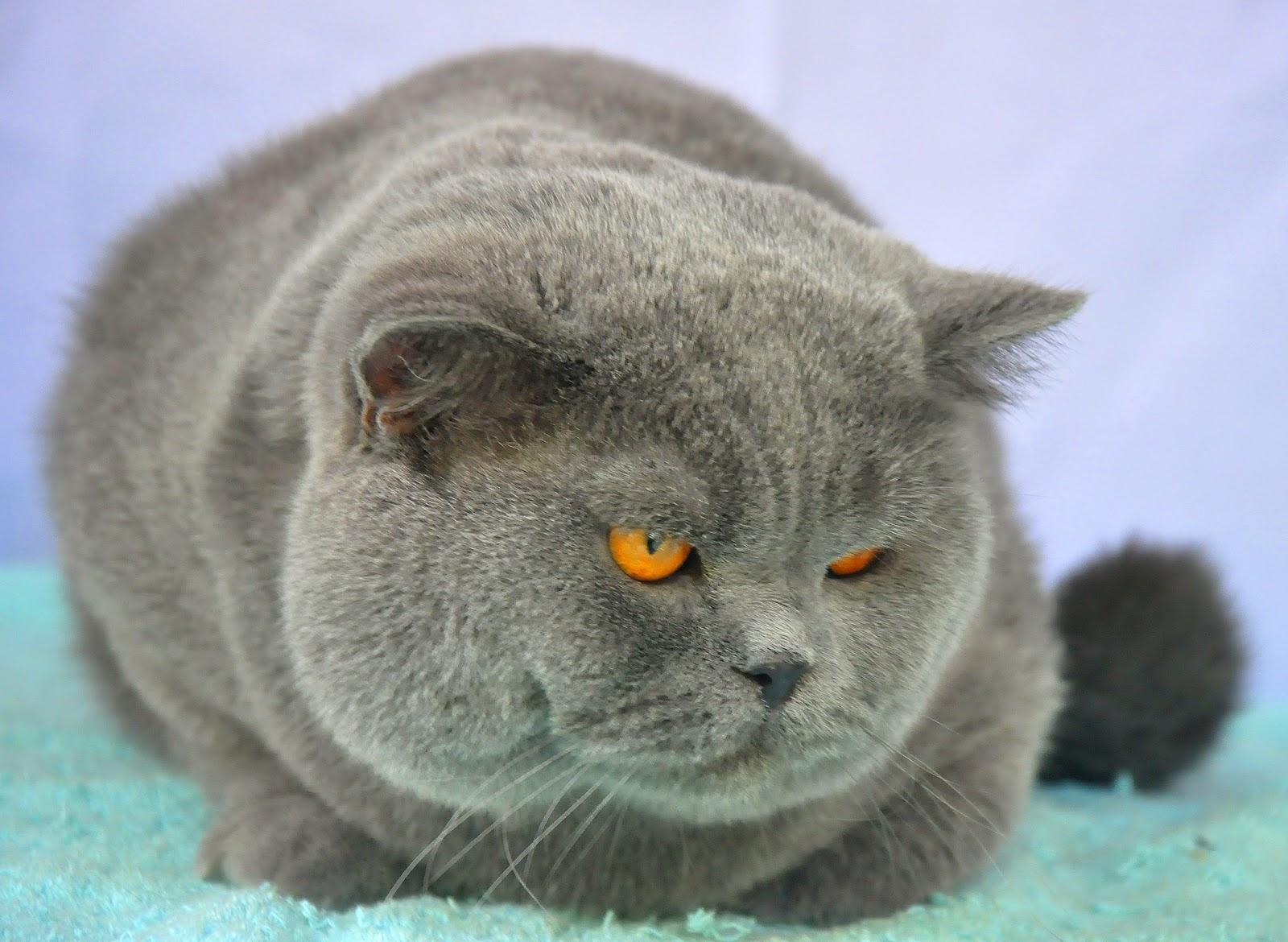 Kucing British Shorthair Boneka Teddy Bear Sukses