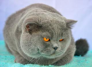 Kucing Ras British Shorthair